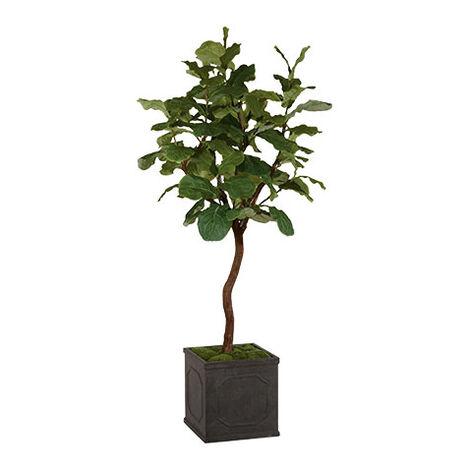 Fiddle Leaf Fig Tree ,  , large