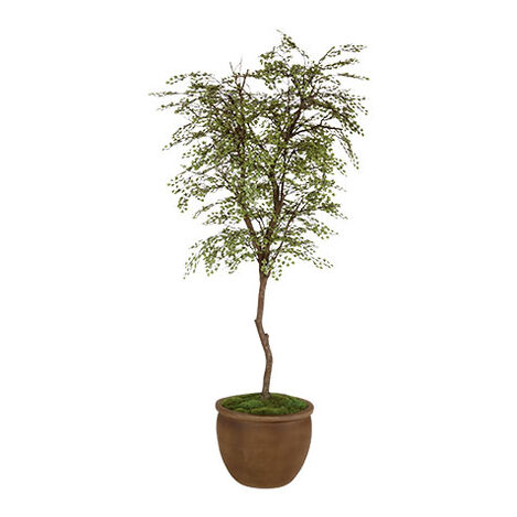 Maidenhair Tree ,  , large
