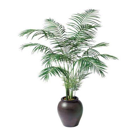 Palmier Areca ,  , large