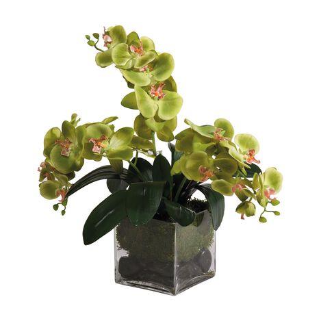Orchidées Vertes du Genre Phalaenopsis ,  , large