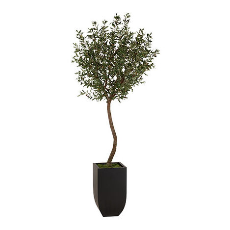 Black Olive Tree ,  , large