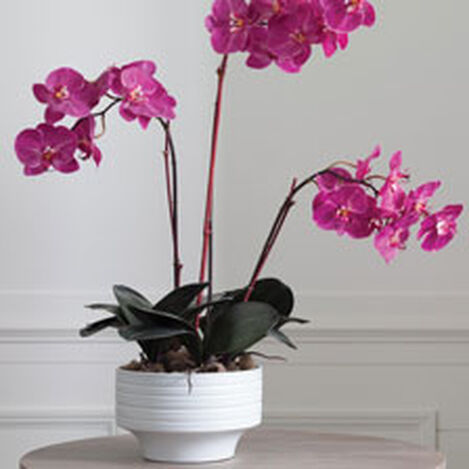 Fuchsia Orchids in Ceramic Pot Product Tile Hover Image 444545