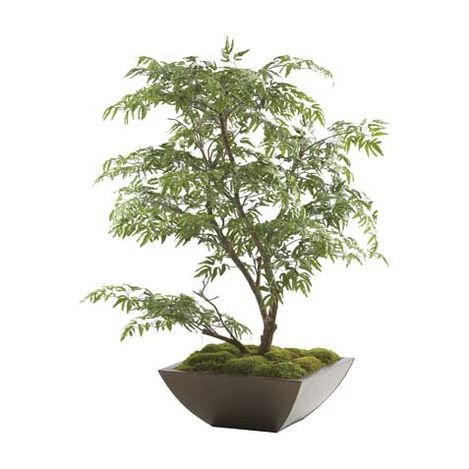 Ming Aralia Tabletop Tree ,  , large