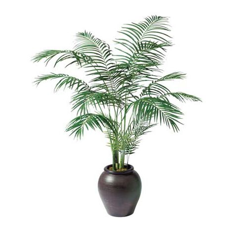 Areca Palm Tree ,  , large