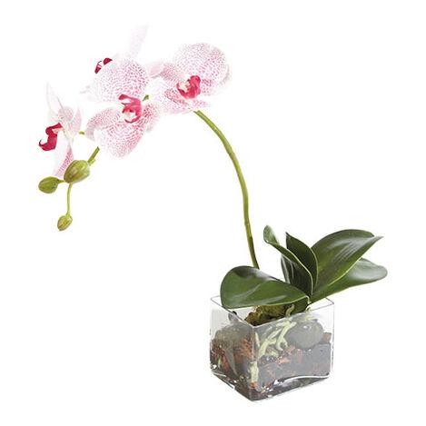 Petits Phalaenopsis Tachetés Product Tile Image 444540